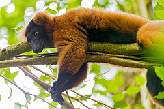 Tired lemur by Tambako the Jaguar, on Flickr